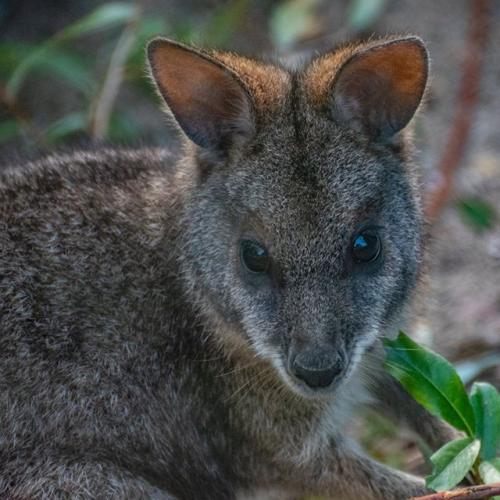 Parmawallaby