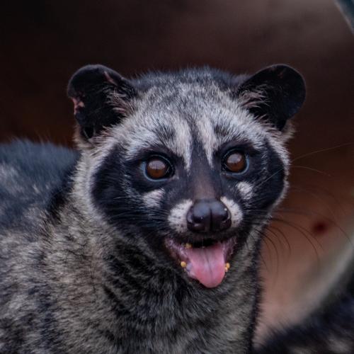 Palm Civet kat